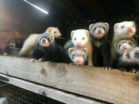 Polecats and ferrets