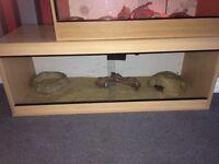 Royal Python and 4 foot set up
