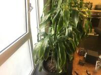 Large Dracaena Plant