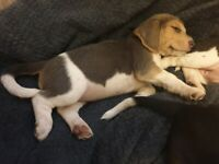 Beagle Puppies (Tri-Colour)