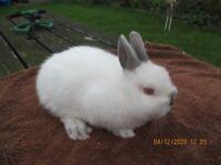Baby Netherland Dwarf Rabbit, last one this year!