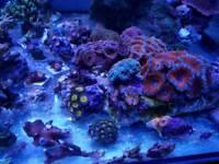 Corals. Sps. Acans. Zoas marine aquarium