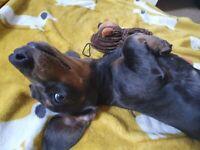 Alfie the blue dachshund