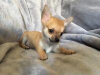 Short coat chihuahua puppies
