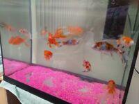 Selection of fancy goldfish