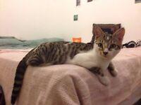 5 month Kitten Needs Loving Home
