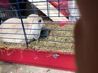 Dwarf female rabbit with a nice colour