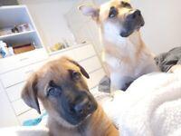 XL German Shepherd X Akita puppies READY NOW