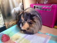 Two gorgeous male guinea pigs and full set up ready for a loving home !