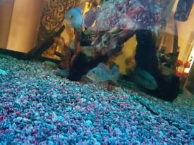 Geophagus around 4 inchs for sale