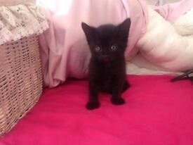 All black kitten