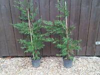 Leylandi plants in pots (2)