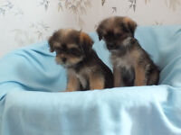 Shih Tzu / Yorkshire Terrier Cross Shorkie Pups