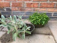 Perennials-Lambs ear and evergreen Blue campanula plant.