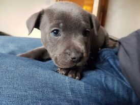 Blue staffy pup