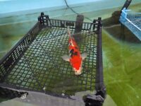 koi carp sanke 10 to 11 inch £45