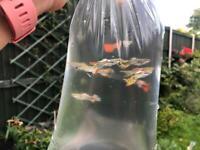 Guppies/platies, tropical fish
