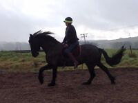 Gorgeous Friesian mare for part loan