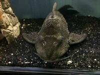 Pleco catfish for sale