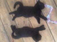 British Blue Chocolate-Black-Tabby-Smoke Kittens