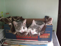 2 kittens in need of forever home £100 ono
