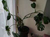 Monstera for sale £15