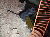 2 Gerbils with large cage, food and bedding