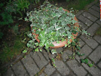 Variegated English ivy/Hedera helix plants in 38 cm plastic pot
