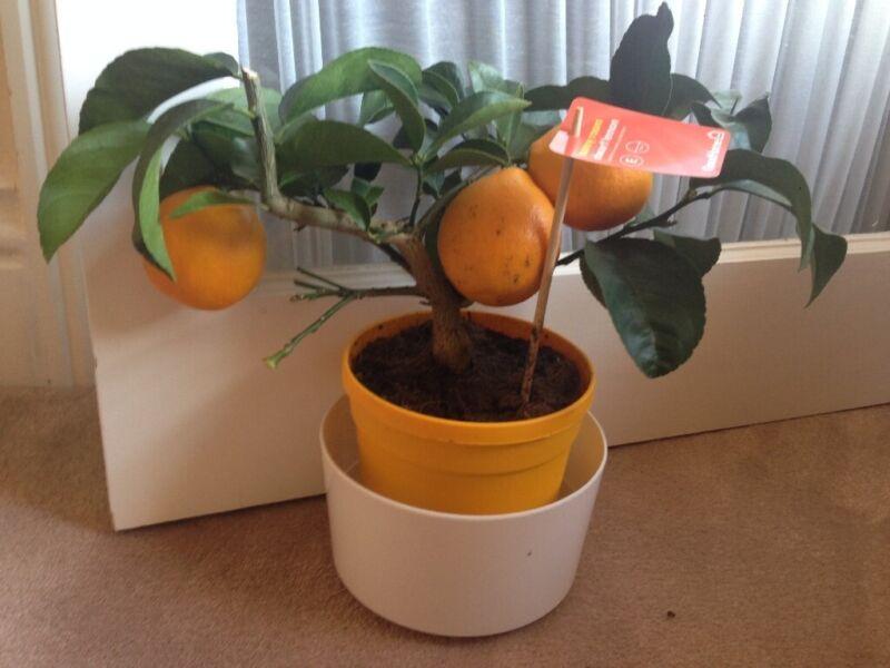 500pcs spearmint seeds mint mentha herb green home garden flower plant decoBICA