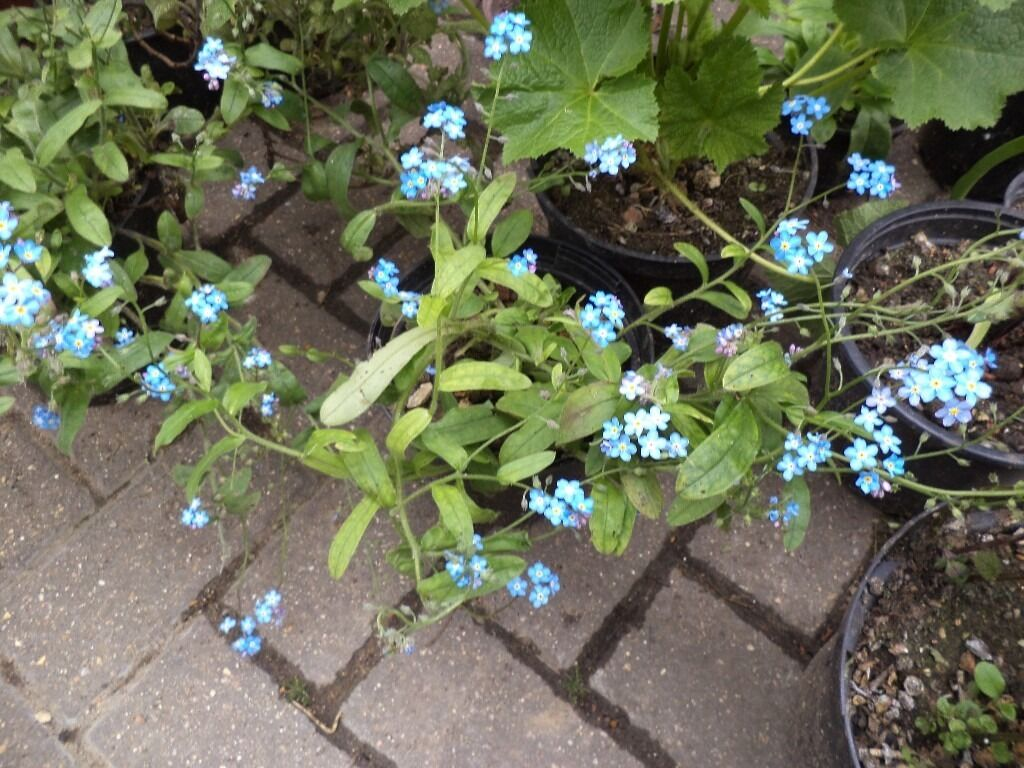 Plants For Sale Forget Me Not Flowers In Small 10 Cm Pot In North