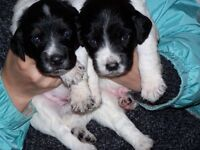 Puppies for sale! Two bitches left, ready to go now. Spaniel crosses.