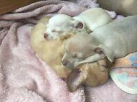 Chihuahua puppies £550