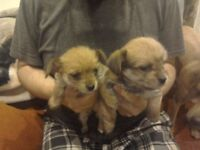 CHORKIE PUPS FOR SALE. CHIHUAHA FATHER AND YORKIE MOTHER. £350 EACH.