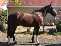 15.2hh. Irish Sport Horse Gelding. 10 Year ole