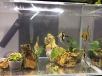 Young Zebra Angel fish and Koi Angelfish for sale £3