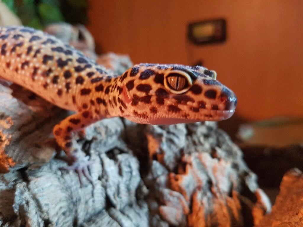 Leopard geckos for sale as moving.