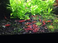 Red Cherry Shrimps