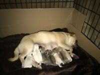 Butiful pug litter