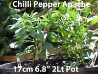 Chilli Plants Apache in 17 cm 2Lt Pot £3.00 grow in pots patio conservatory Greenhouse windowsill