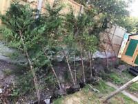 Conifer trees leylandii