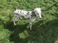 12 month old dalmation