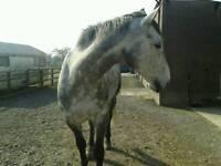 Grey gelding 16/2