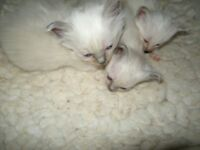 Beautiful Birman Kittens