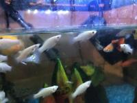 Baby molly fish for sale