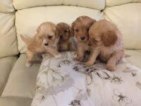 Gorgeous Cavapoo Puppies