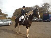 17hh approx 6 year old coloured sports horse for sale