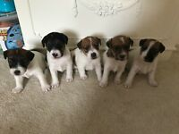 Jack Russell cross Lakeland puppies 1 girl and 2 boys left, ready 5th of July mum can be seen