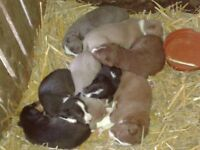 collie puppies boys and girls cute pretty colours grey brown and black and white friendly
