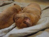 Douge de Bordeaux Puppies needing a forever home