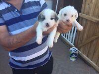 4 shitzu pups